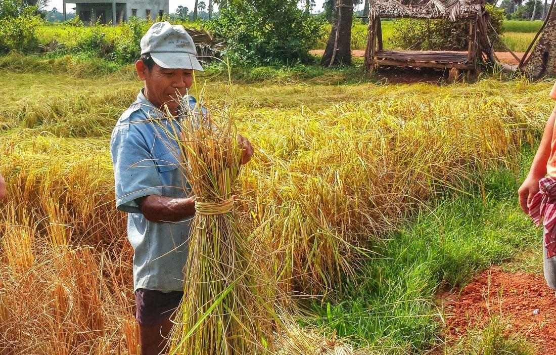 cambodian rice farmer in kampot