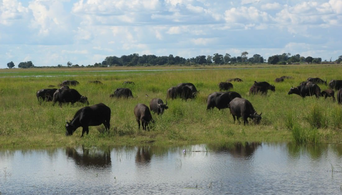 Wildebeest_in_Chobe_national_park,_Botswana