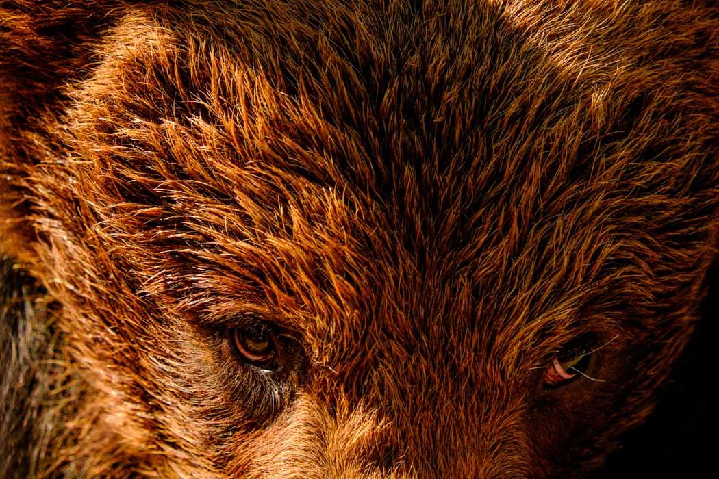 Brown Bears Romania