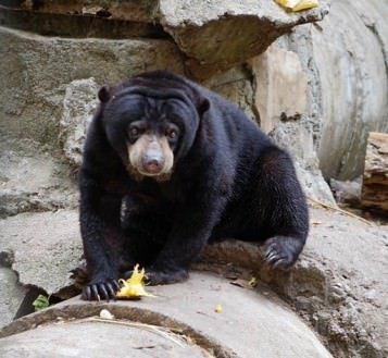 Responsible Travel: Sun Bears in Asia