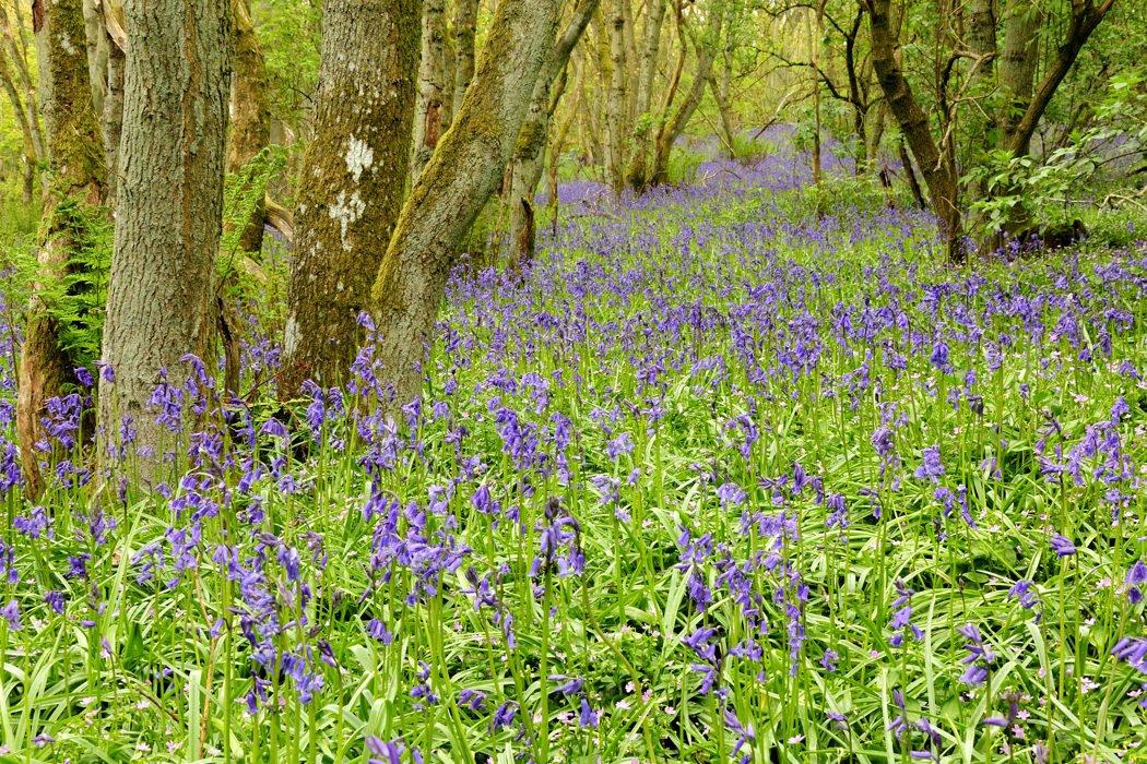 Bluebell Woods, Blairgowrie, Perthshire - Karen Thorburn