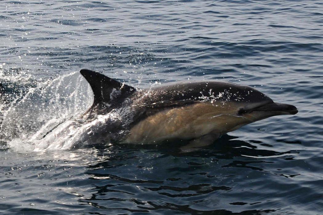Dolphin - Karen Thorburn
