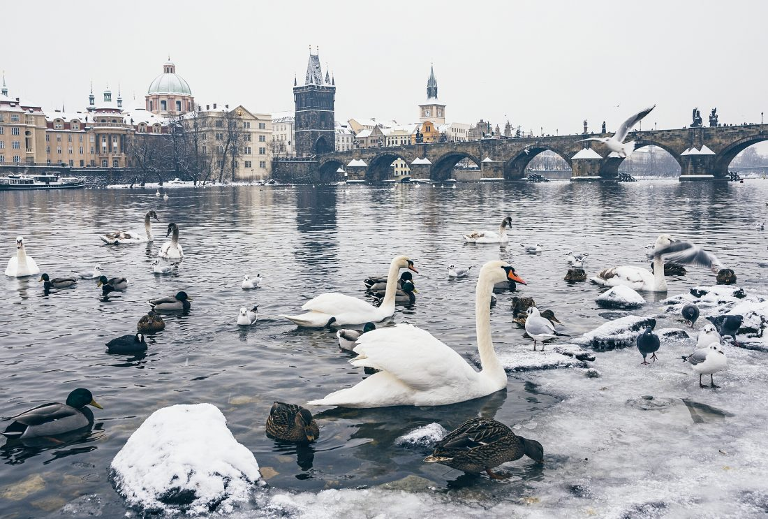 Swans and the Charles Bridge in PragueSwans and the Charles Bridge in Prague