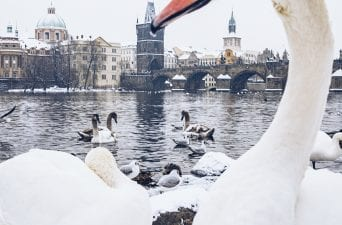 swans on a snow day in prague, charles bridge
