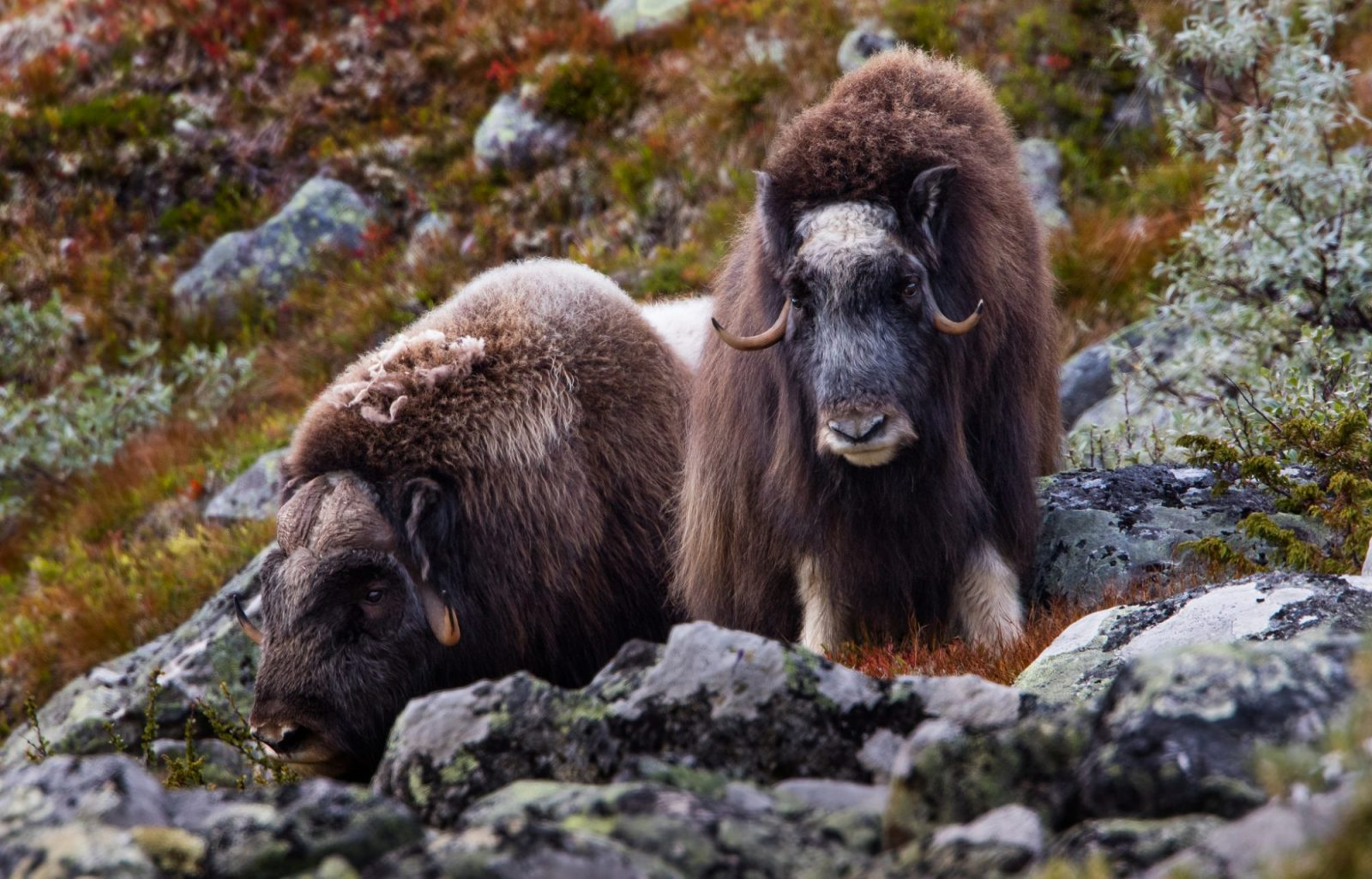 Norwegian Musk Oxen