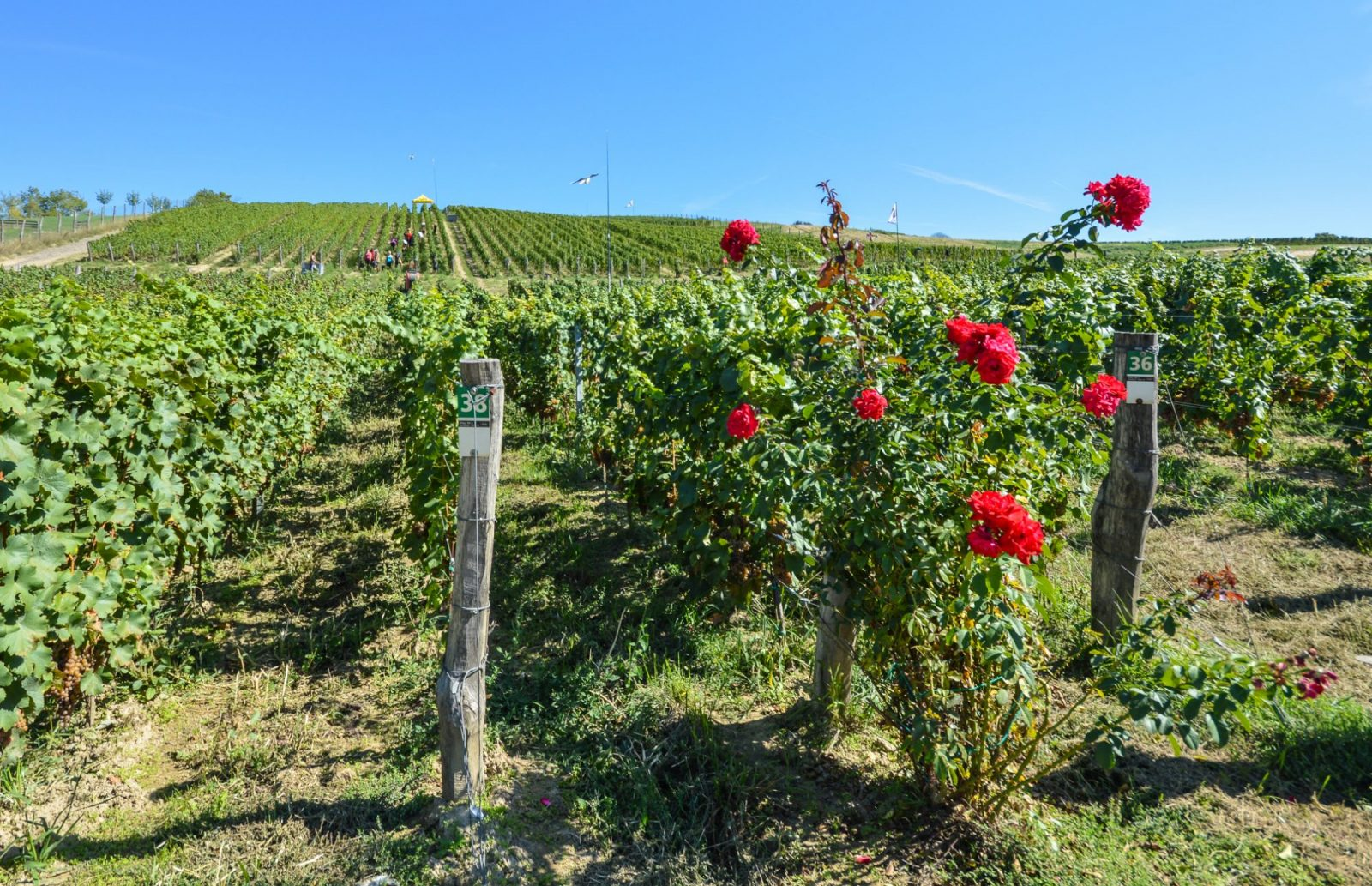Fall wine harvest in the Czech Republic