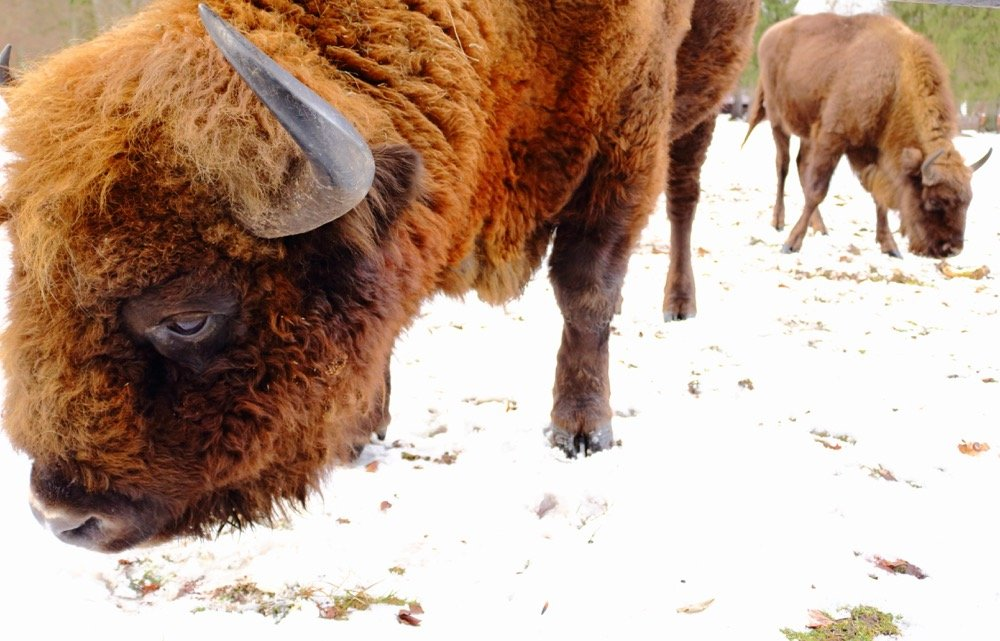 Białowieża Bisons
