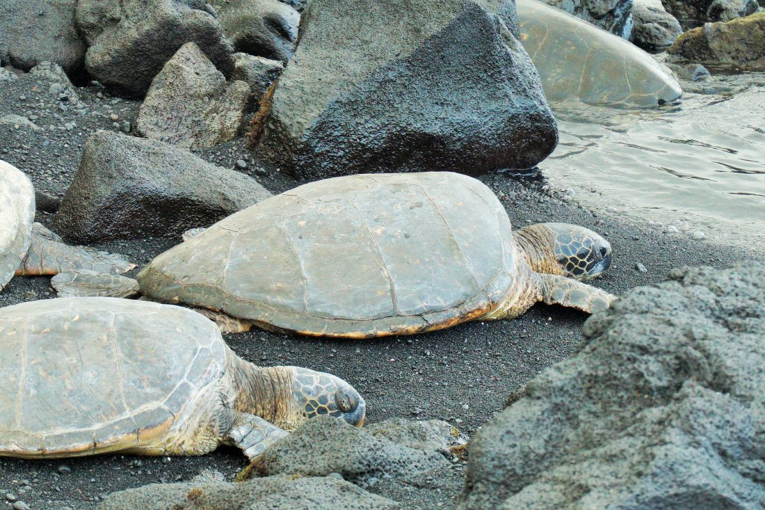 turtles on Punaluu Beach in Hawaii