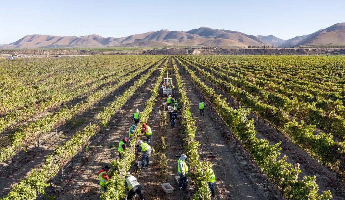people harvesting grapes in a vineyard outside of Santa Maria, California