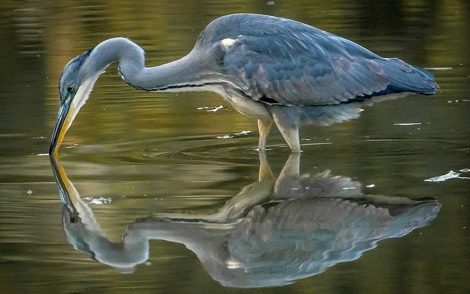a heron takes a drink in a pond in Longmont Colorado