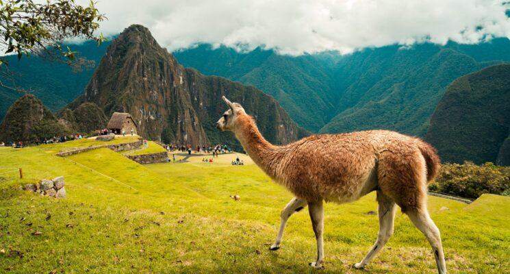 a llama standing near Machu Picchu Peru