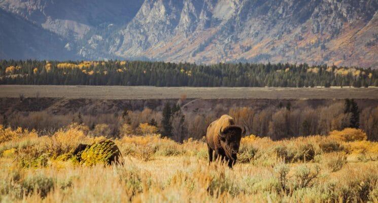 a buffalo standing in a field