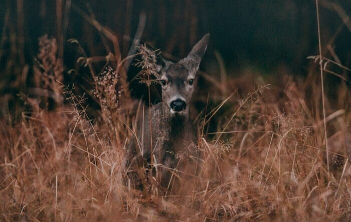 a deer in tall grass in Yosemite Park