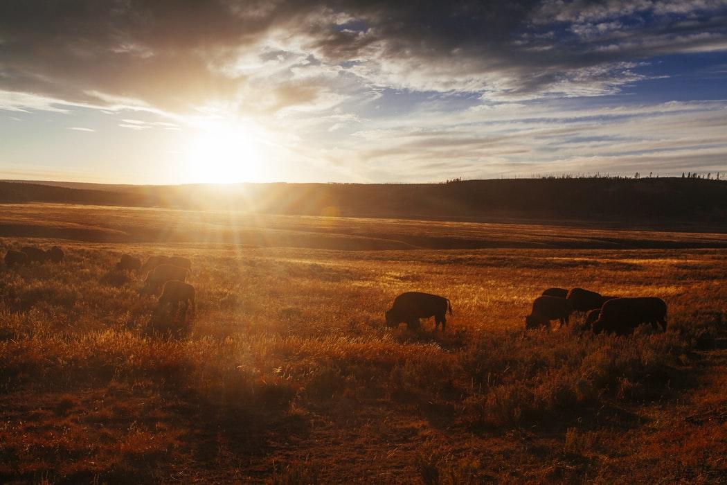 buffalos grazing at sunset hayden valley yellowstone three day itinerary